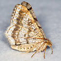 Faint-spotted Angle - Hodges#6386 - Digrammia ocellinata