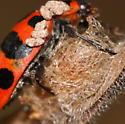 ladybird with parasite - Coleomegilla maculata