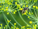 Cool looking bee (?) - Anacrabro ocellatus