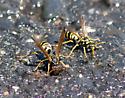 Paper Wasp - Polistes aurifer
