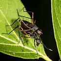 Stilt-Legged Flies Mating Taeniaptera sp.   Family Micropezidae - male - female