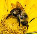 Unidentified Bumblebee - Bombus griseocollis - male