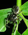 Jumping spider 3 - Eris militaris - male