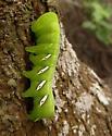 Pandorus sphinx larvae? - Eumorpha satellitia