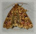Colorful Moth  - Callopistria mollissima