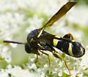 Another female Leucospis? - Leucospis affinis - female