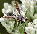 Physocephala - Physocephala tibialis - female
