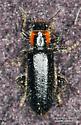 Placopterus thoracicus