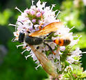 Thin waist wasp? - Isodontia elegans
