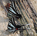 Eurytides marcellus - Zebra Swallowtail - Hodges#4184 - Eurytides marcellus