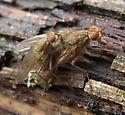 Mating Flies - Scathophaga furcata - male - female