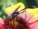 An ichneumon wasp