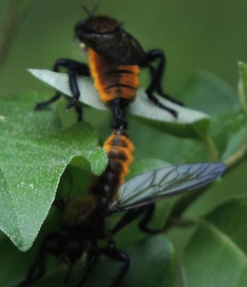 mating pair - Laphria - male - female