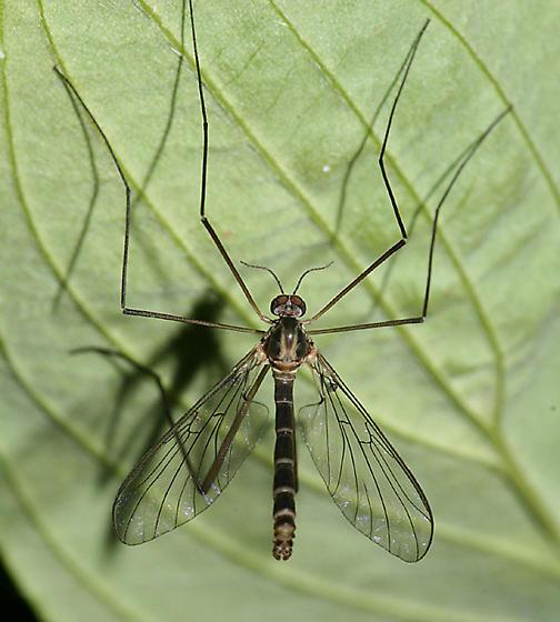 Net-winged Midge - Agathon comstocki - male