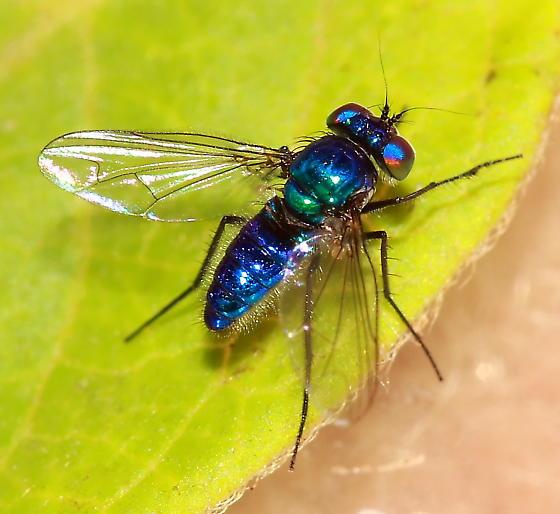 Long-Legged Fly - Condylostylus mundus - male
