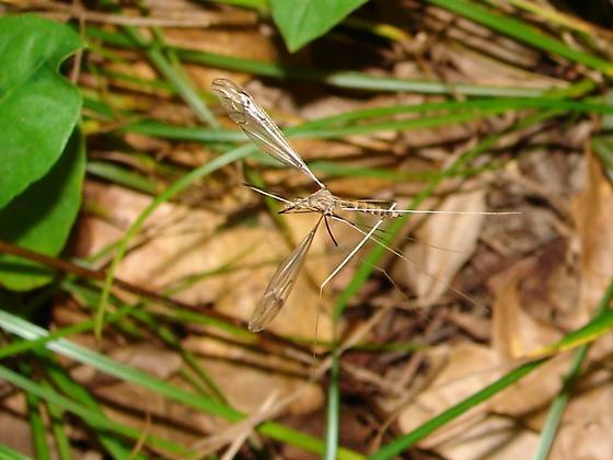 Dancing Crane - Brachypremna dispellens