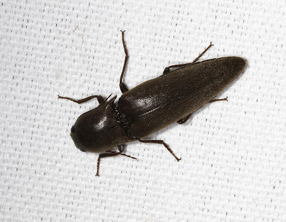 Click Beetle at mercury vapor lamp - Orthostethus infuscatus