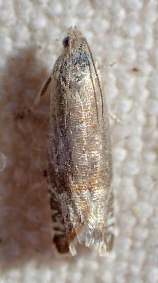 Metallic moth - Eucosmini?