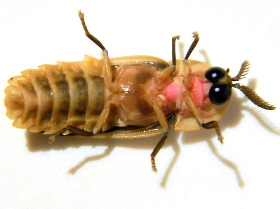 Firefly   - Pleotomus pallens - male
