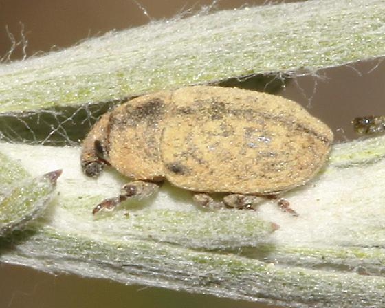 Weevil on Sagebrush - Larinus minutus