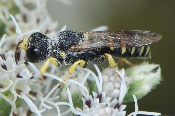 Square-headed Wasp - Lestica confluenta