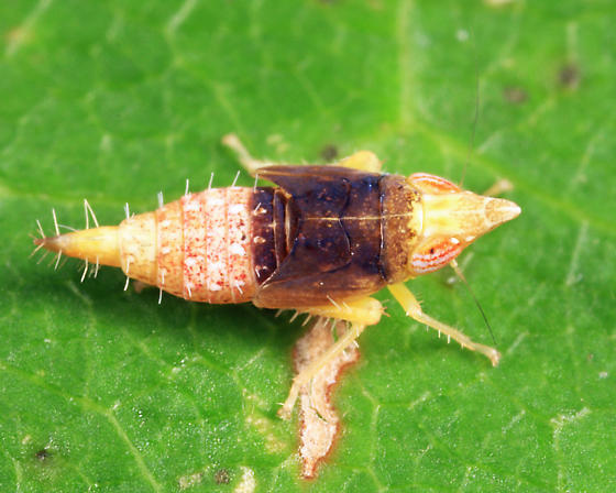 long-nosed leafhopper - Scaphytopius