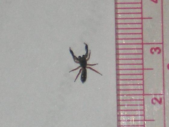 Scorpion Spider?? - Metacyrba punctata