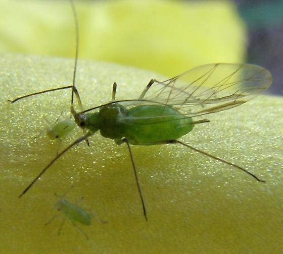 Potato Aphids - Macrosiphum euphorbiae