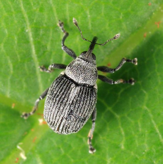 small weevil - Ceutorhynchus typhae - female