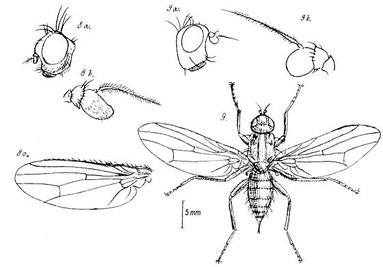 Heleomyza, Suillia (Heleomyzidae)