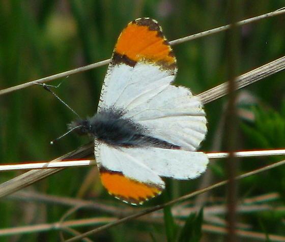 Sara Orangetip - Anthocharis julia - male