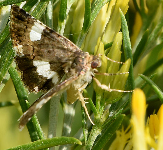 Four Spotted Moth - Tyta luctuosa