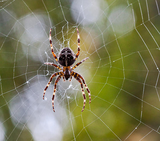 Orb weaver in web - Araneus diadematus