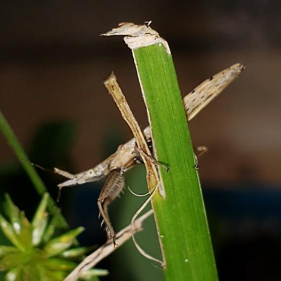 Pnirontis infirma female and egg - Pnirontis infirma - female