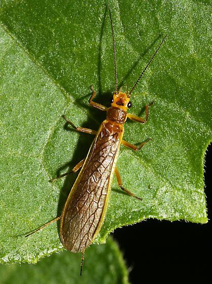 unidentified Plecoptera - Perlesta