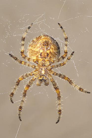 Orb Weaving Spider - Araneus - female