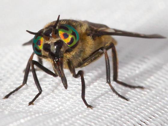 Deer Fly ? - Chrysops excitans - female