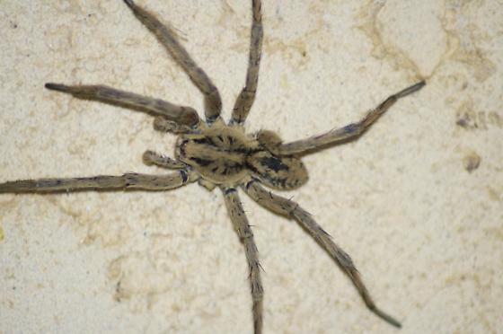Fishing spider? - Hogna coloradensis