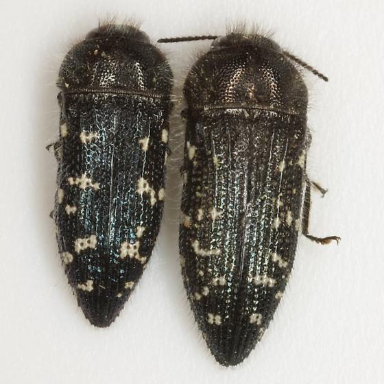 Acmaeodera ornatoides Barr - Acmaeodera ornatoides