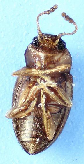patterned fungus beetle - Toramus pulchellus