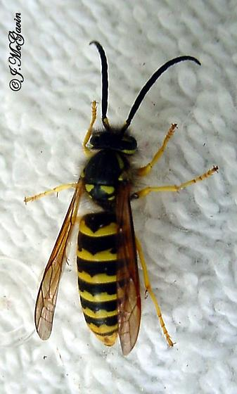 Male Yellow Jackets-all the same species? - Vespula flavopilosa - male
