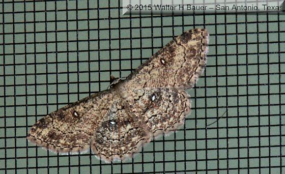Cyclophora nanaria - Hodges#7140 (Cyclophora nanaria) - Cyclophora nanaria - female