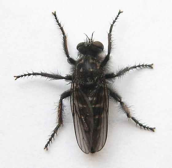 Fly - Cyrtopogon montanus