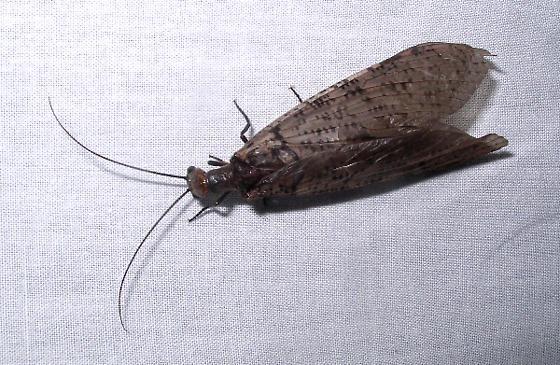 Fishfly - Chauliodes