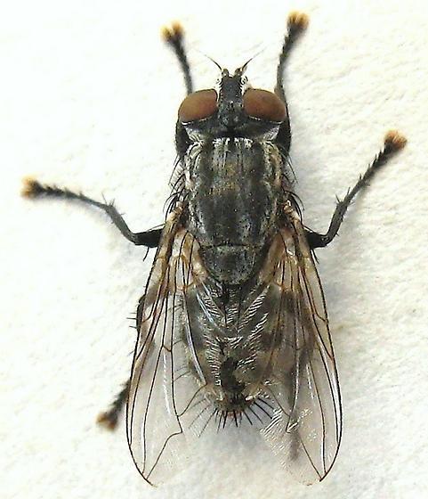 Flesh Fly?