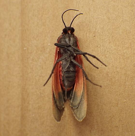 Erebidae: Virbia laeta - Virbia laeta