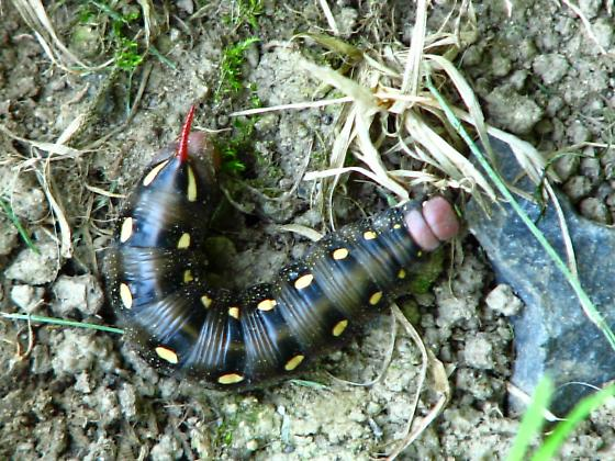 Black caterpillar with white spots and red head and horn - Hyles gallii