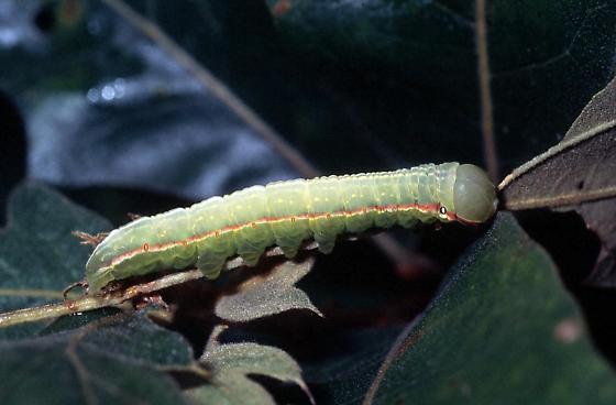 Angulose Prominent Caterpillar - Peridea angulosa