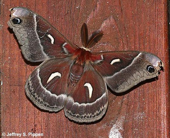 Hylaphorus euryalus  - Hyalophora euryalus