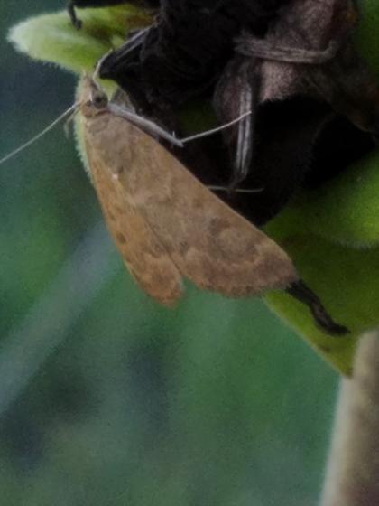 Pale Moth on Rosinweed